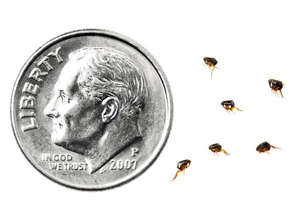 Teeny tiny fleas
